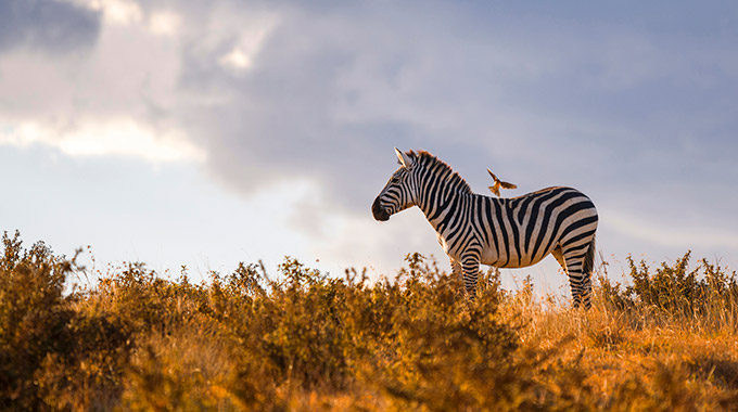 A zebra and a bird at Ngorongoro Crater in Tanzania