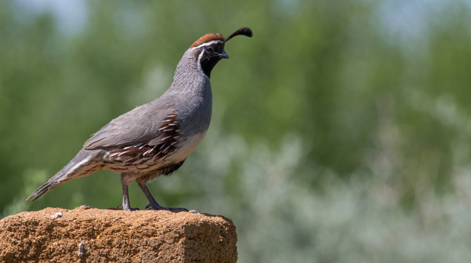 A Gambel's quail in New Mexico