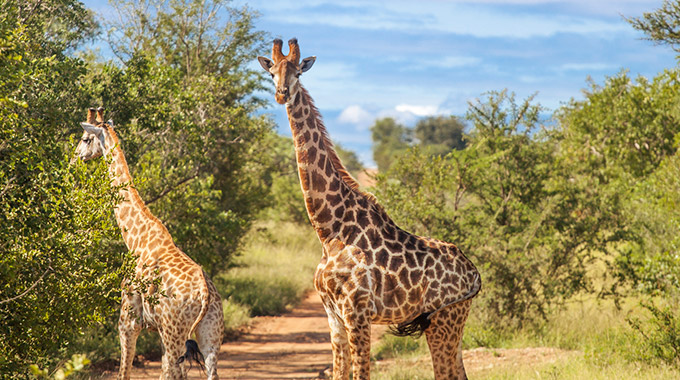 Two giraffes at a game reserve in South Africa