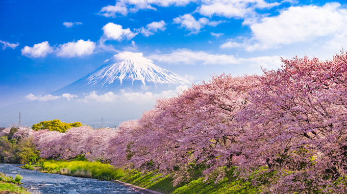 Cherry blossom trees bloom in Japan, with Mount Fuji in the background