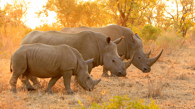 Three rhinos at Kruger National Park in South Africa
