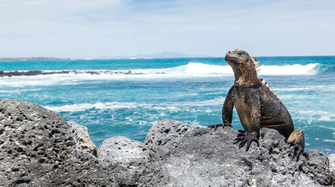An iguana on a rock in the Galapagos Islands