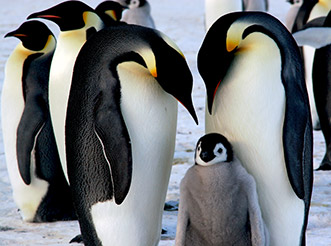Two emperor penguins with a penguin chick in Antarctica