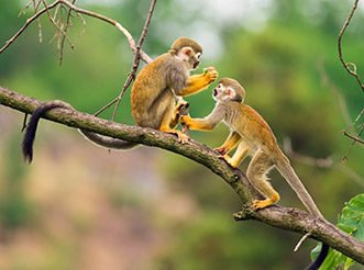 Two squirrel monkeys on a branch in the Amazon rainforest