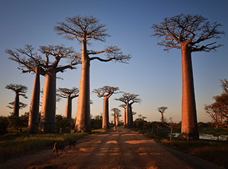 The Avenue of the Baobabs at sunset in Madagascar