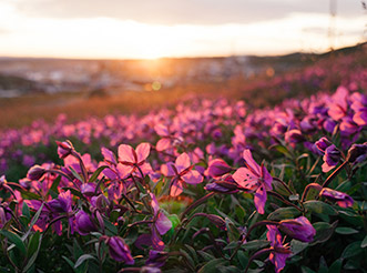 Pink flowers on the tundra near Iqaluit