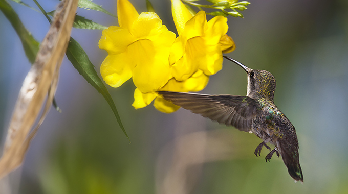 A hummingbird sips nectar from a flower at the Arizona–Sonora Desert Museum. | Photo by Jay Pierstorff/Arizona–Sonora Desert Museum