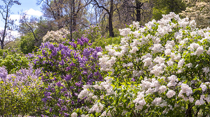 Lilacs bloom at Arnold Arboretum | Photo by Lisa S. Engelbrecht/Danita Delimont for stock.adobe.com