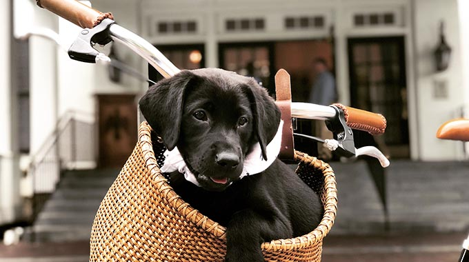 A pup in a basket at the Woodstock Inn