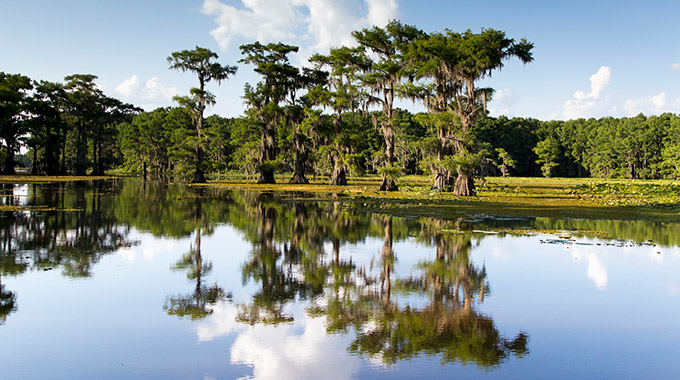 Bald cypresses and Spanish moss growing in Caddo Lake State Park