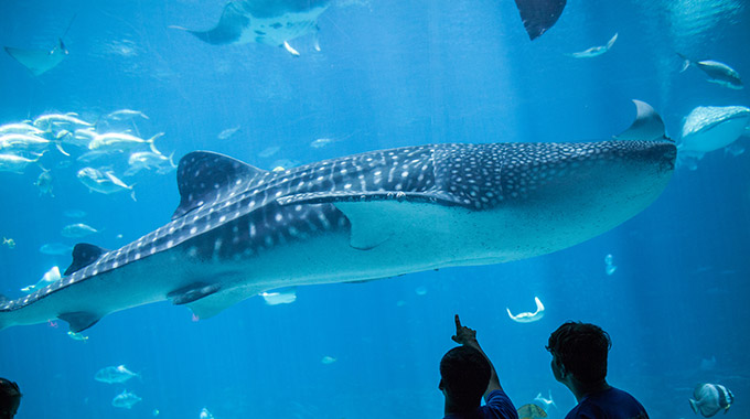A whale shark at Georgia Aquarium