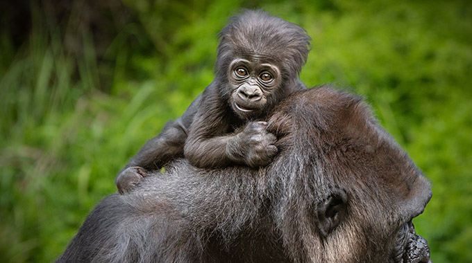 Angela the baby gorilla rides on her mother's back