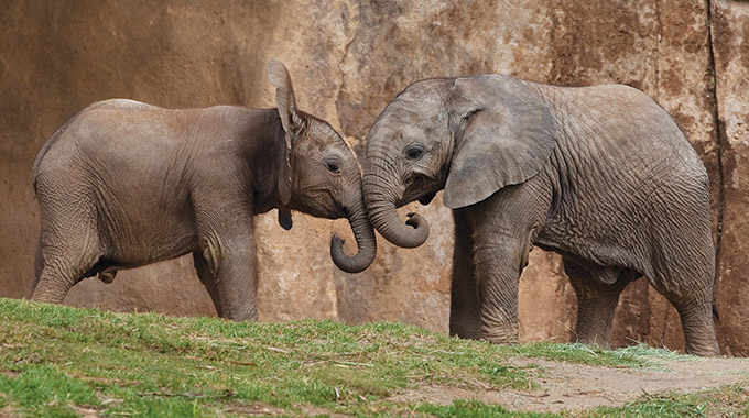 Two elephants at the San Diego Zoo & Safari Park