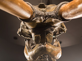 A view from below of a mammoth skull at the La Brea Tar Pits & Museum